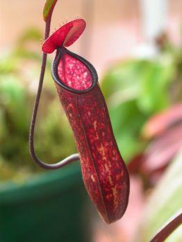 Nepenthes muluensis