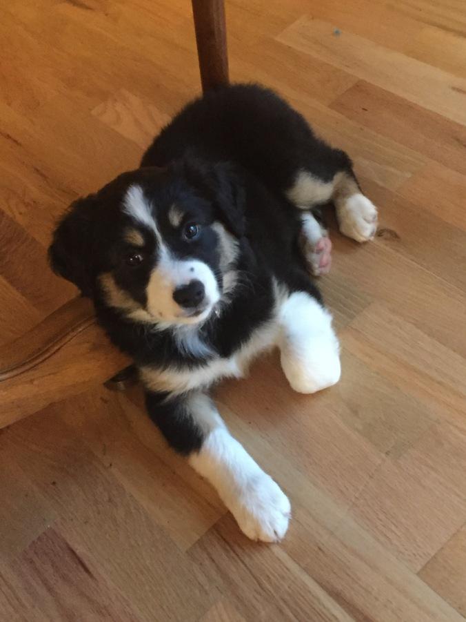 Juno puppy